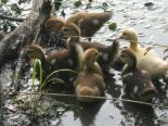George Washington & Jefferson Nat'l Forests : Ducklings at Pandapas Pond, George Washington and Jefferson National Forests